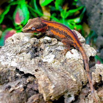 gargoyle gecko morph