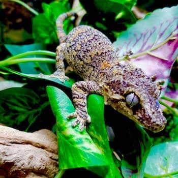 gargoyle gecko price