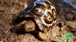 giant south african leopard tortoises for sale