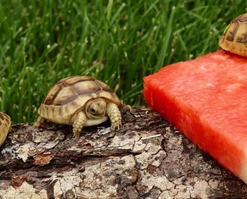 golden greek tortoise for sale
