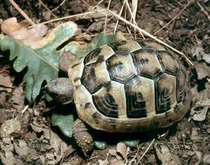 greek tortoise