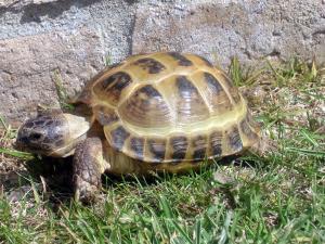 greek tortoise for sale online