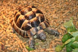 greek tortoise for sale online