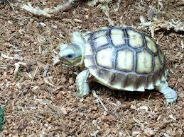 ivory sulcata for sale online
