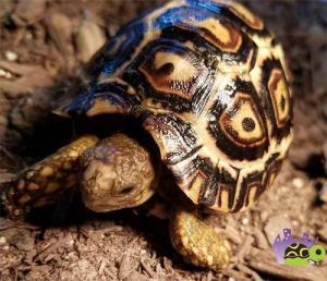 leopard tortoise breeder