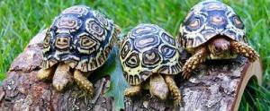 leopard tortoise breeders