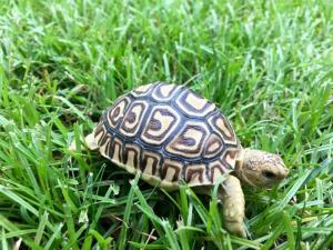 leopard tortoise for sale near me