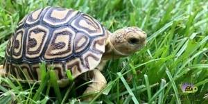 buy leopard tortoise