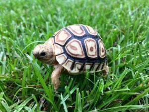 leopard tortoises for sale online