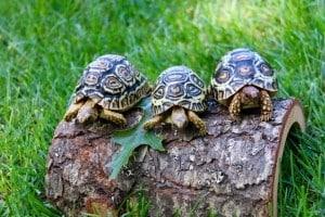 leopard tortoises for sale