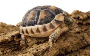 marginated tortoise for sale