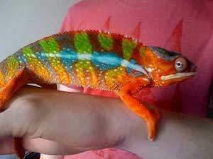 panther chameleon for sale online