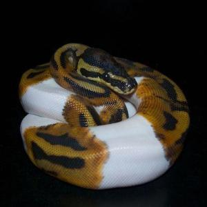 piebald ball python for sale near me