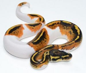 piebald ball pythons for sale