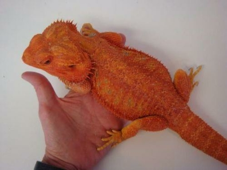 red bearded dragon for sale
