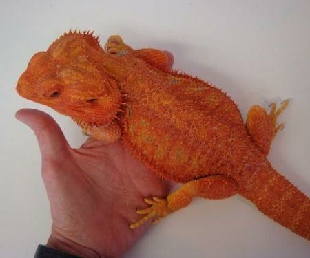 Bearded dragon for sale | baby bearded dragons for sale
