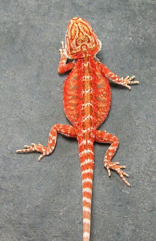 What Is A Citrus Bearded Dragon
