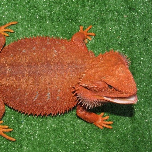 With Adult bearded dragons for sale think, that