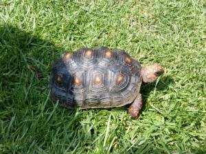 red foot tortoises for sale online