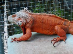 red iguana