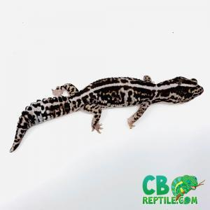 Striped whiteout African fat tail gecko
