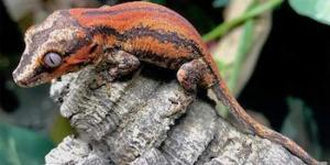 where to buy gargoyle gecko