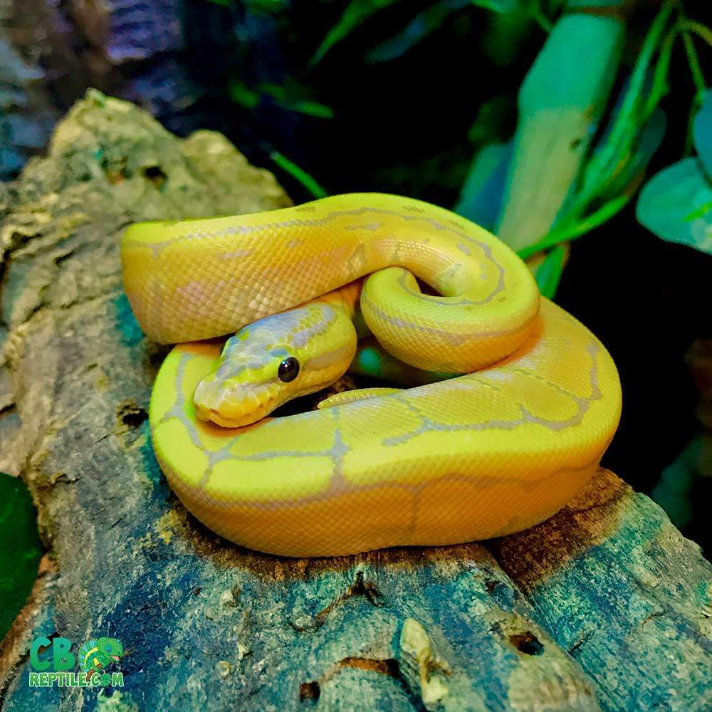 ball python breeders