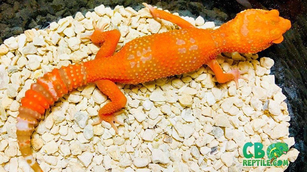 blood tremper albino cross leopard gecko