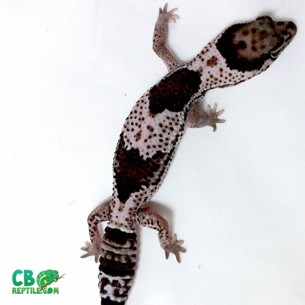 oreo african fat tail gecko for sale