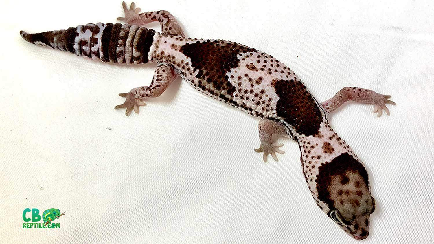 oreo fat tailed gecko for sale