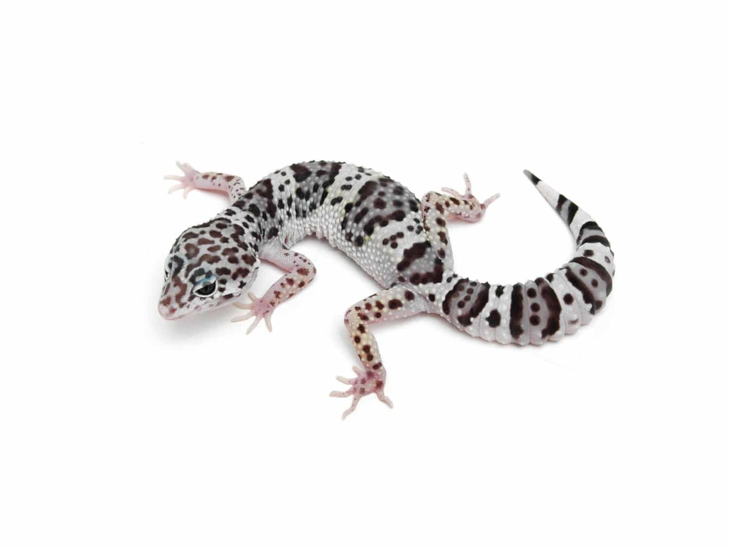 tug snow leopard gecko for sale