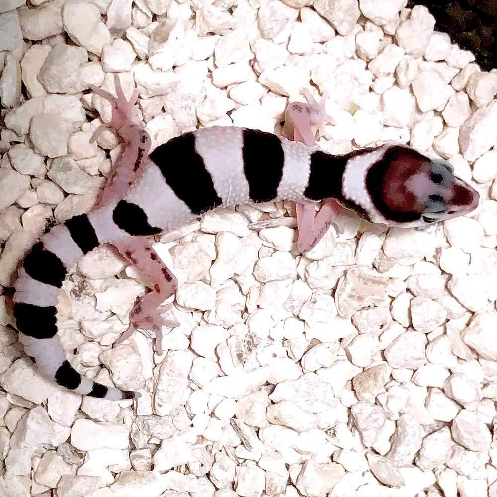 tug snow leopard gecko