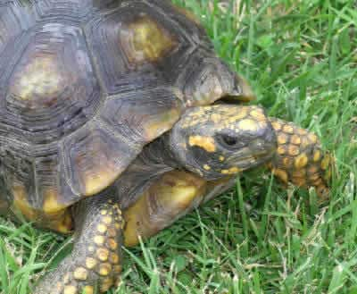 yellow foot tortoises for sale