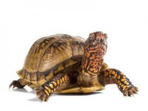 3 toed box turtle for sale