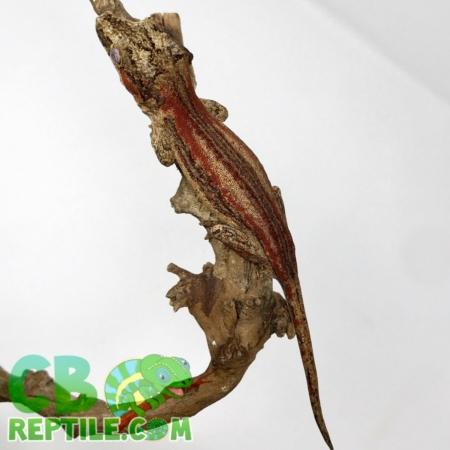 gargoyle gecko 430