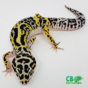 bold leopard geckos