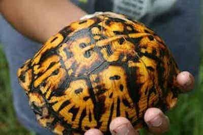 box turtle for sale