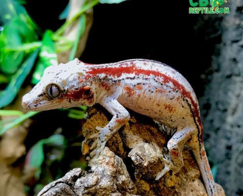gargoyle gecko