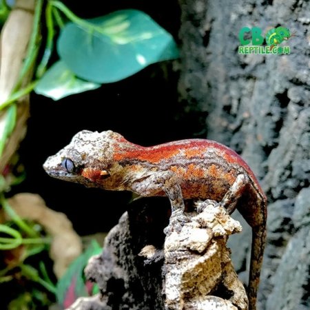 super stripe gargoyle gecko