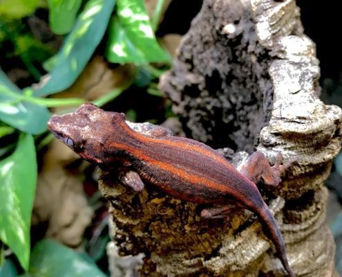 gargoyle geckos