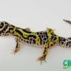 lavender bold leopard gecko