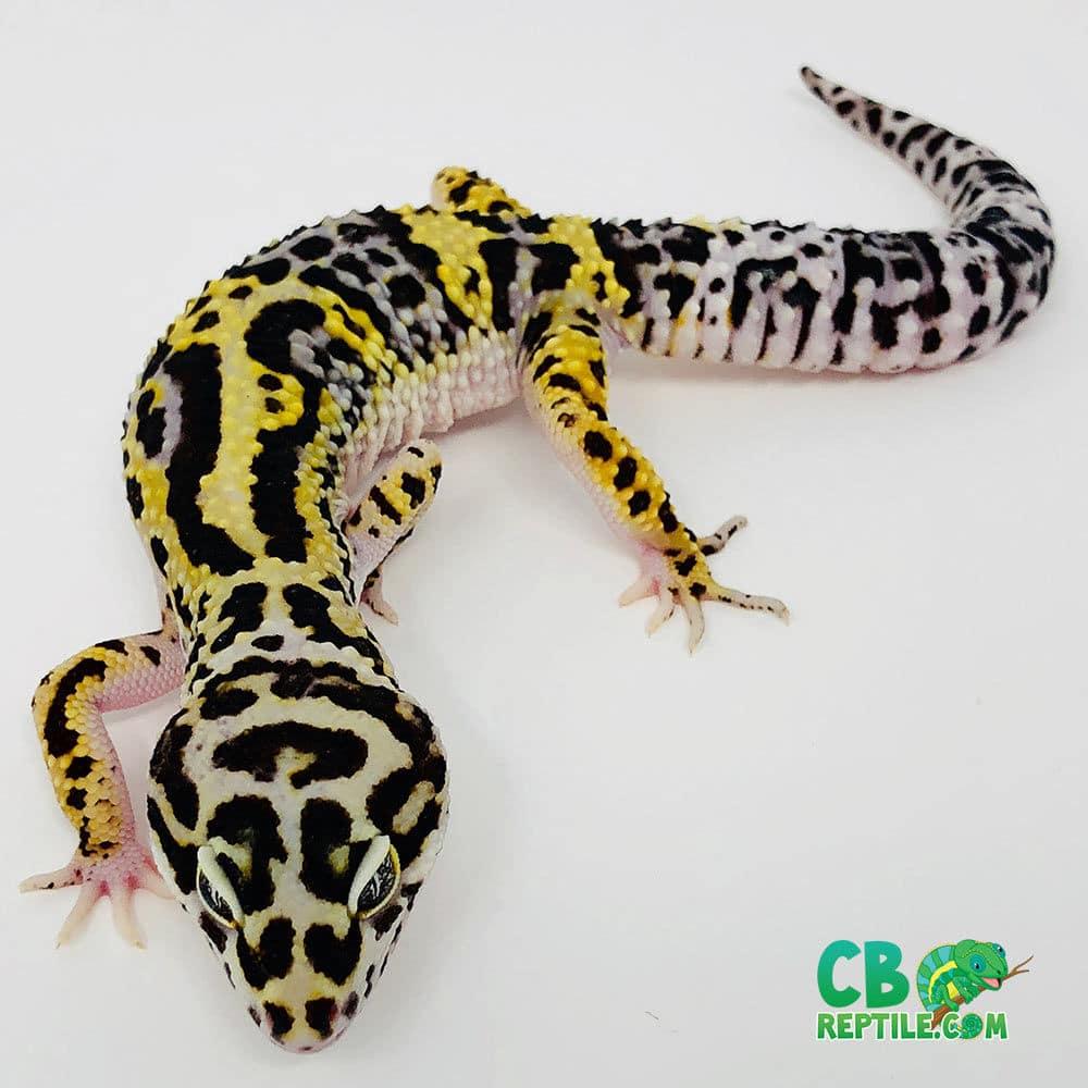 Lavender Bold Bandit Leopard geckos