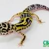 lavender bold leopard geckos