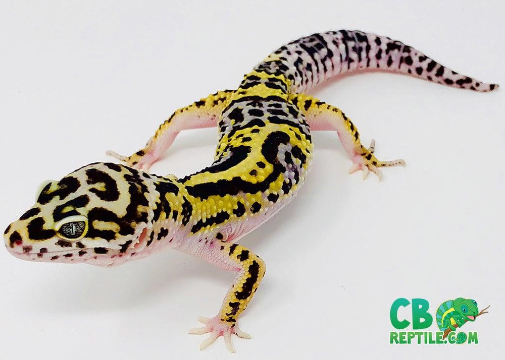 bold jungle leopard gecko for sale baby bold leopard geckos for