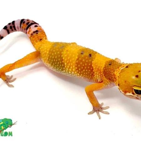 mandarin leopard gecko