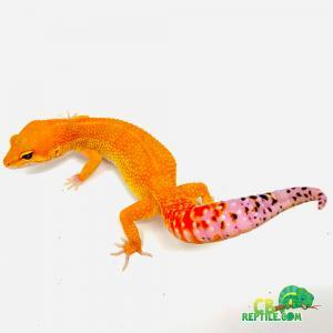 mandarin leopard gecko morph