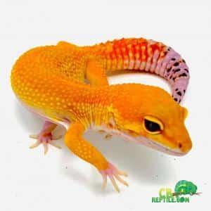 Mandarin Tangerine Leopard Gecko For Sale Baby Mandarin