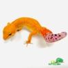mandarin tangerine leopard gecko for sale