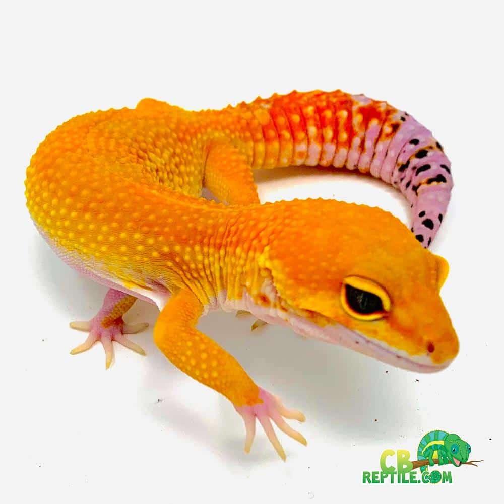 Mandarin Tangerine Leopard gecko