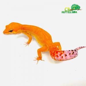 mandarin tangerine leopard geckos